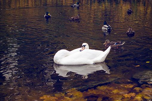 White swan and wild ducks swimming in the lake.