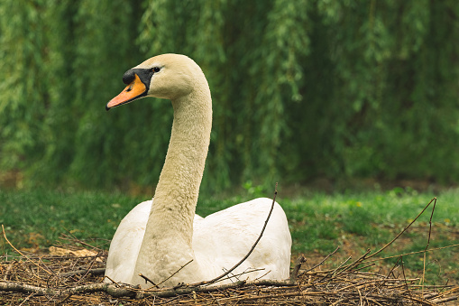 white swan animal portrait ornithology photography in moody green park environment scenery space