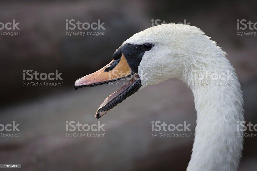 White swan close-up royalty-free stock photo