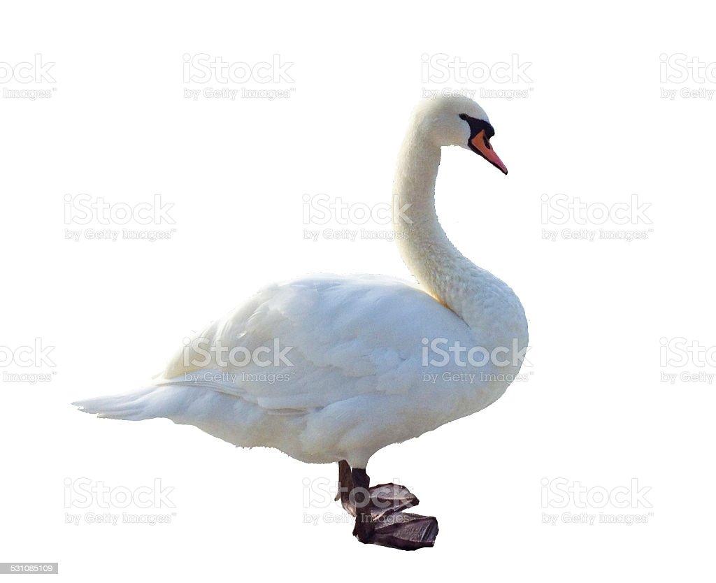 White swan cutout stock photo