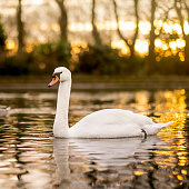 A white swan is in a pond at a public park during sunset.