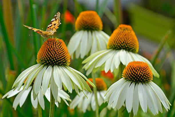 White swan echinacea with butterfly picture id614414818?b=1&k=6&m=614414818&s=612x612&w=0&h=5hdih1pinuqxarwe7mh89ijmcrqzqo bqlisz8fz0qc=