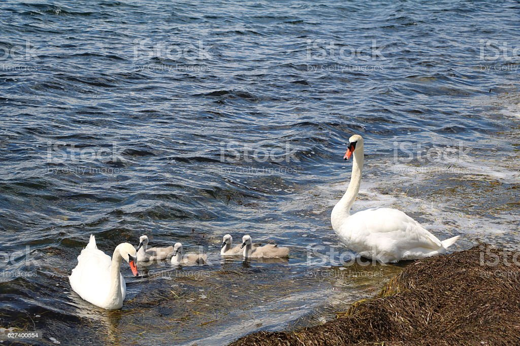 White swan family with gray chicks in spring, Malmö Sweden stock photo