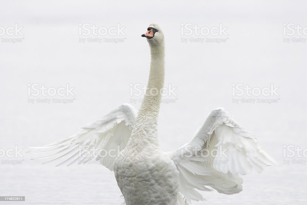 White Swan Flapping royalty-free stock photo