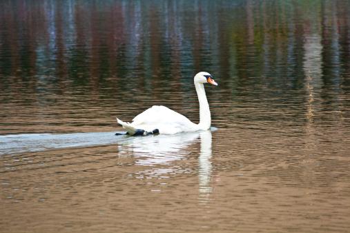 White swan floats in lake
