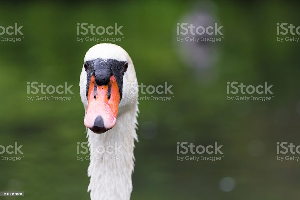White swan in a lake stock photo