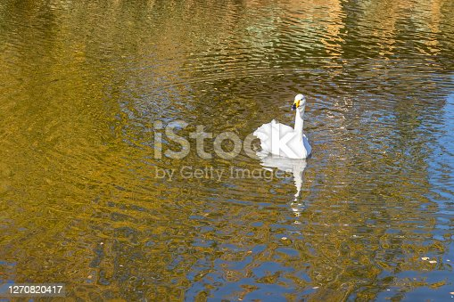 A white swan swims in a pond or lake. Golden reflections of autumn trees on the water.