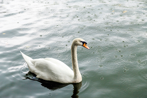 White swan in a pond on a rainy day
