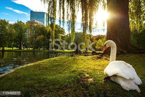 White swan in lake on the park with green and city background , Boston city, Massachusetts, USA