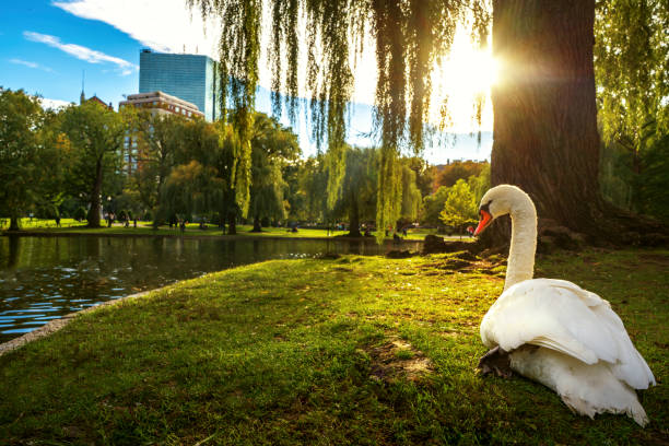 White swan in lake on the park with green and city background stock photo