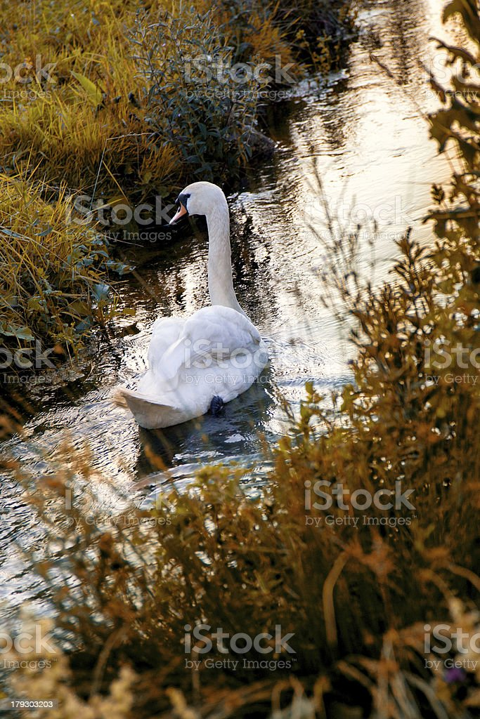 White swan in the canal at sunset royalty-free stock photo