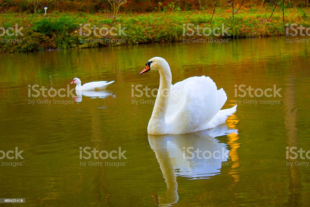 White swan in the lake royalty-free stock photo