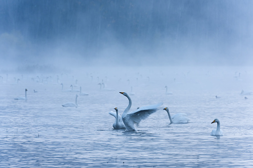 White swan in the morning mist dances in the lake