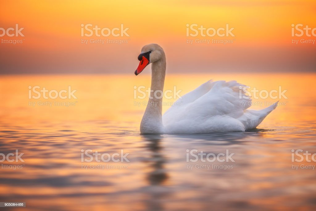 White swan in the sea water,sunrise shot stock photo