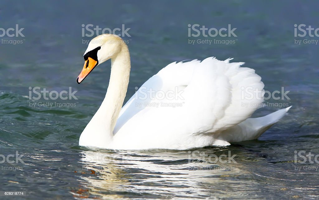 White swan in the water. stock photo