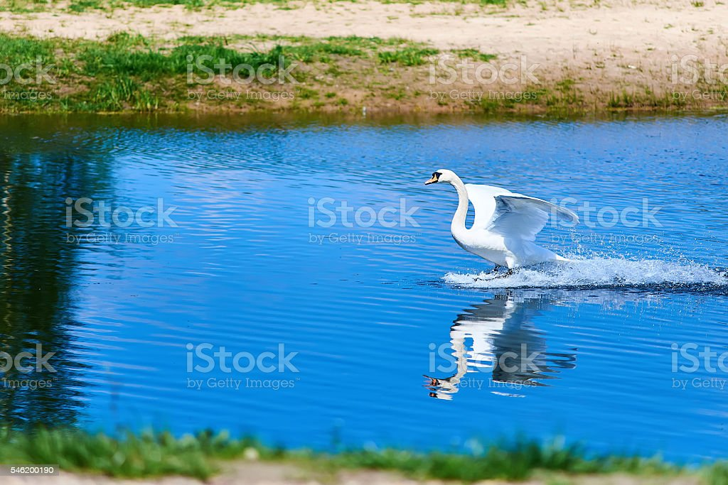 White swan landing stock photo