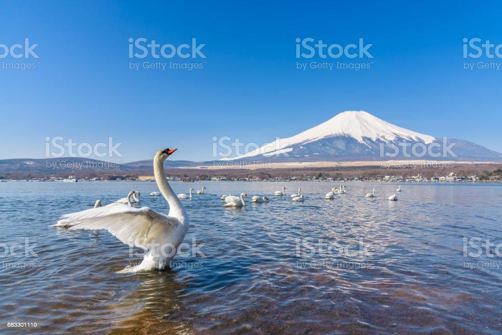 White Swan of Lake Yamanaka with Mt. Fuji at Yamanashi, Japan foto stock royalty-free