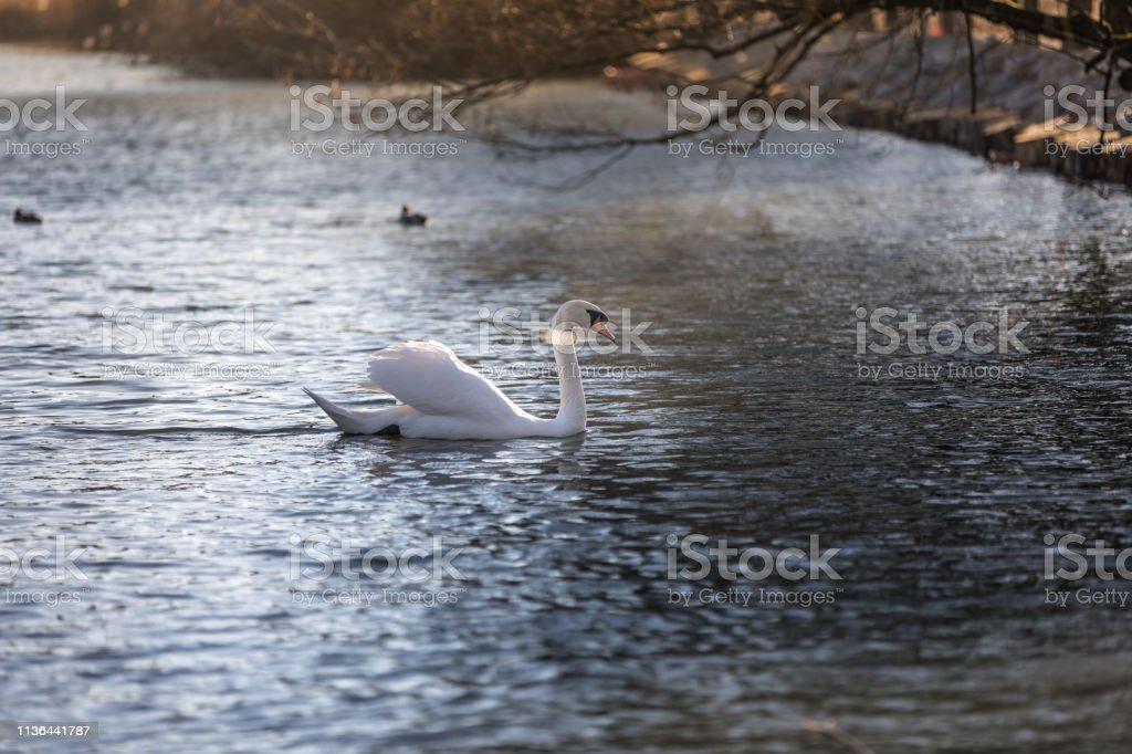 White swan on a green lake stock photo