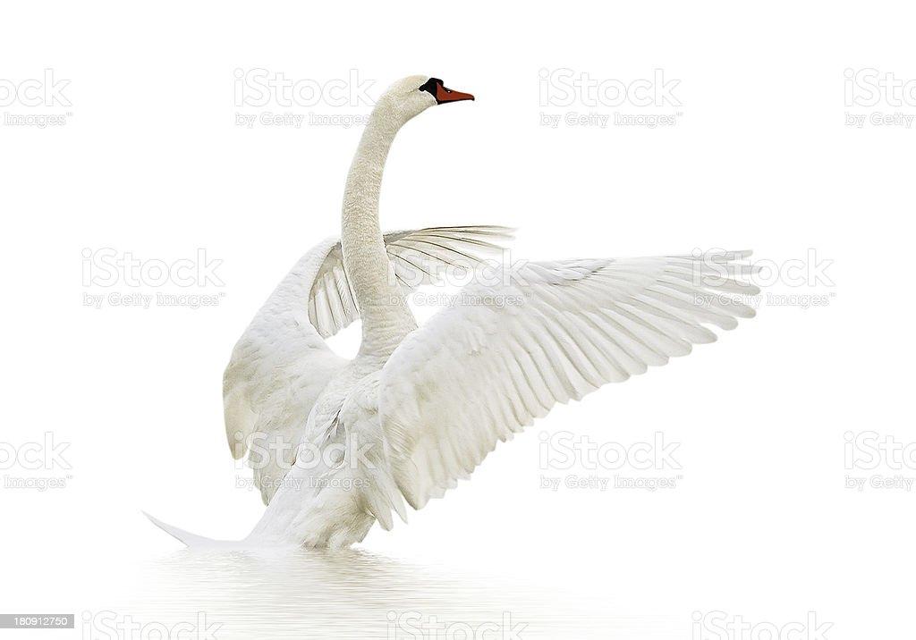 A white swan on a white background stock photo