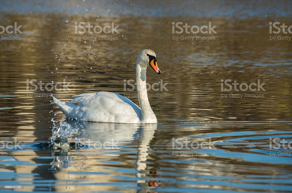 white swan on autumnal blue pond royalty-free stock photo