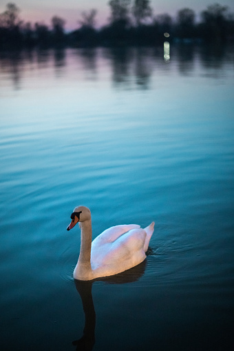 One white swan on river in spring