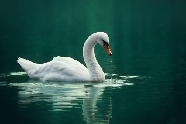 weißer schwan auf dem see - teichfiguren stock-fotos und bilder