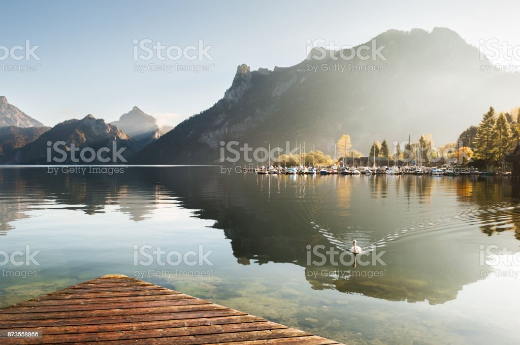 White swan on the Traunsee lake at sunrise. stock photo