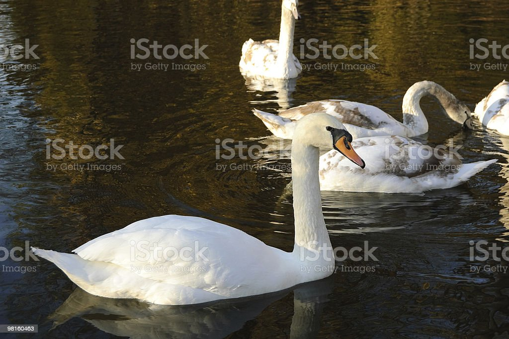 White swan on the water in park royalty-free stock photo