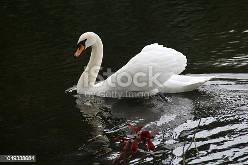 Big white swan on the water surface