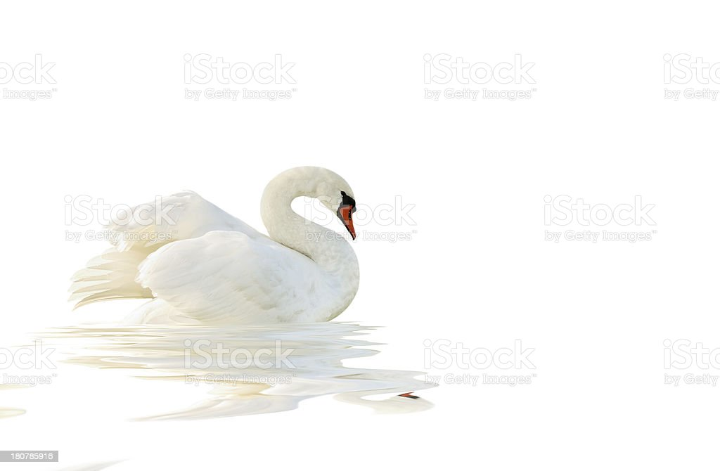 White swan. stock photo