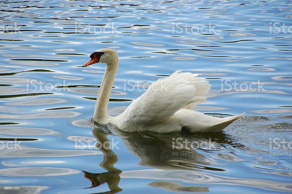 White swan royaltyfri bildbanksbilder