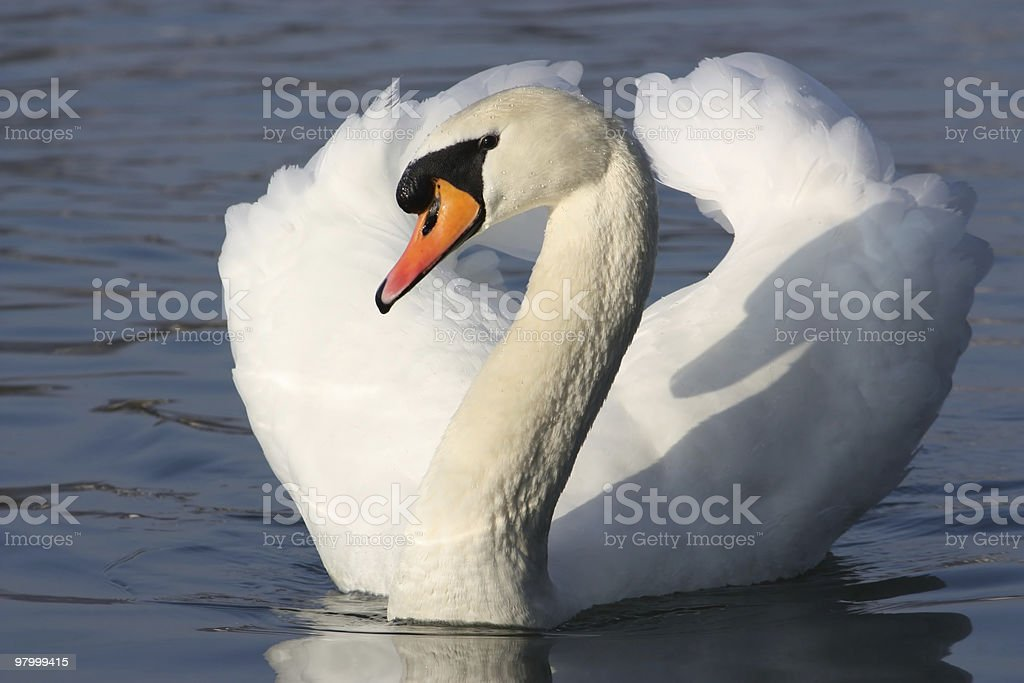 White Swan royalty free stockfoto
