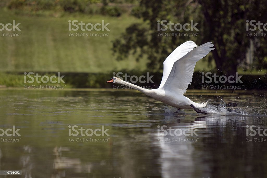 White swan running on the water royalty-free stock photo