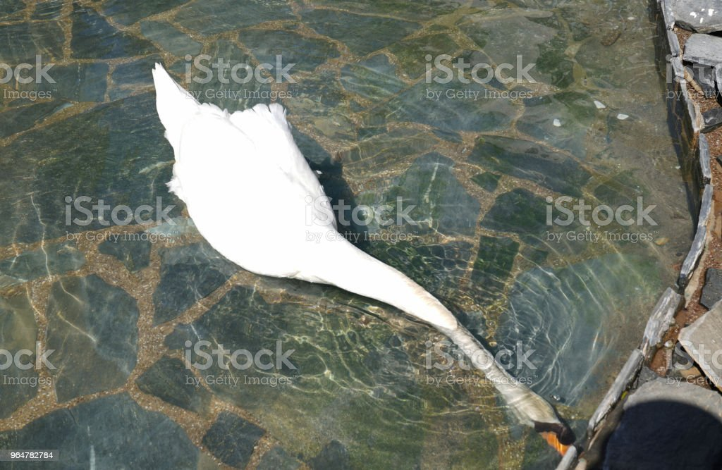 White swan stretching neck under the water and feeding royalty-free stock photo