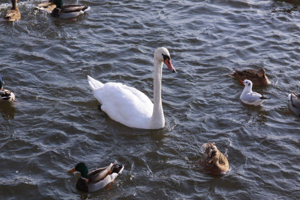 White swan surrounded by ducks on river surface stock photo