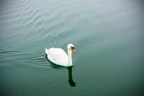 Weisser Schwan schwimmen auf dem See im Stadtpark. Stolz und schönen Vogel. Dunkle Wasser im zeitigen Frühjahr. Getönten – Foto