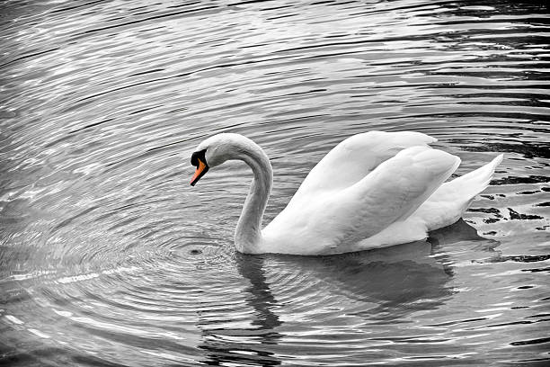 Royalty Free Swan Pictures, Images and Stock Photos - iStock