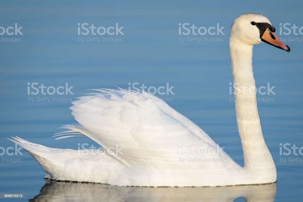 A white swan swimming on a lake stock photo