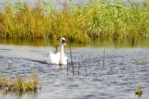 White swan swimming on lake with golden reeds on background of