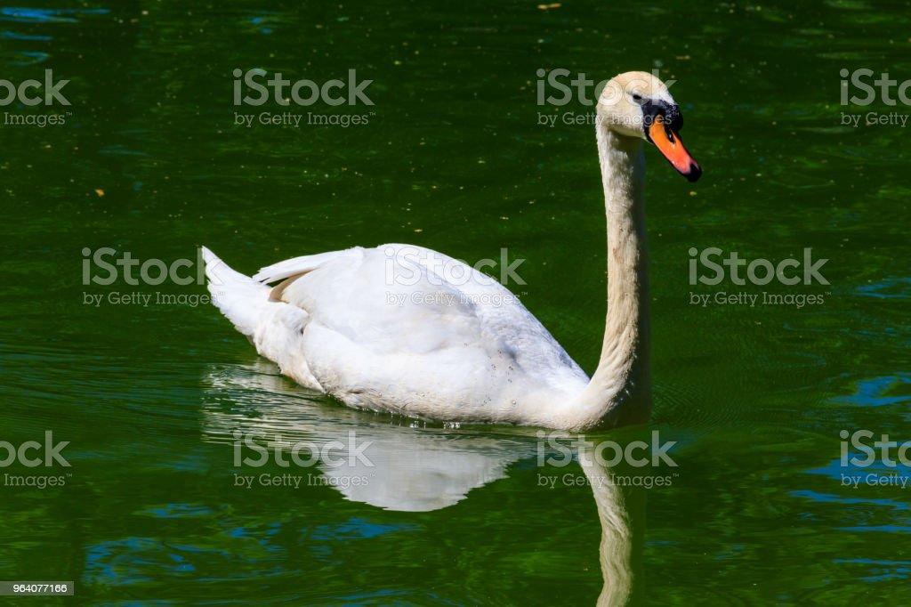 白鳥の湖の上 - ウクライナのロイヤリティフリーストックフォト