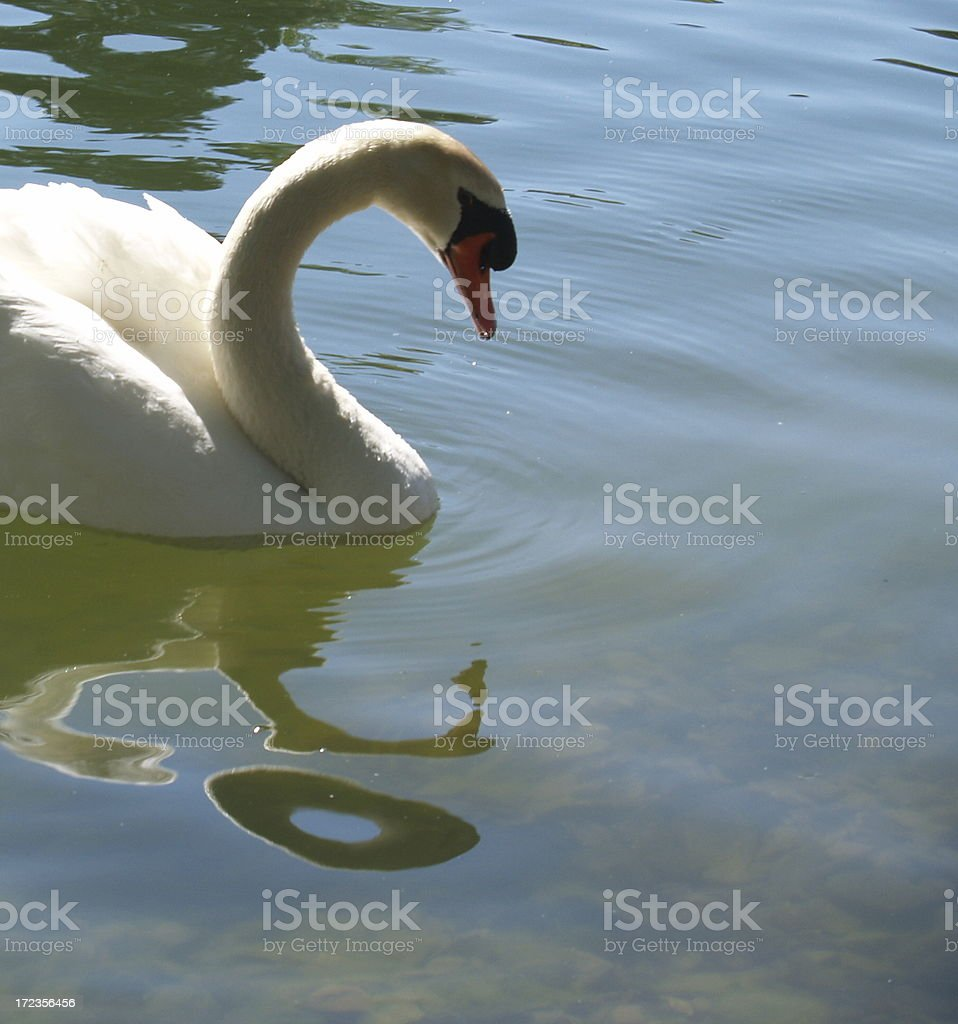 White Swan Swimming royalty-free stock photo