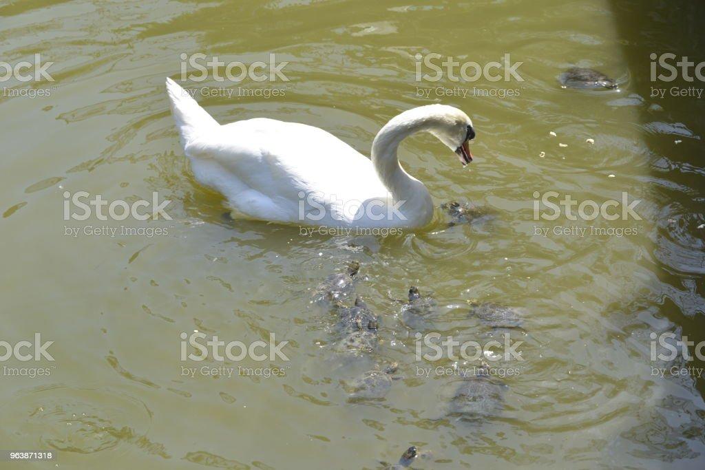 White swan swims among the water turtles - Royalty-free Animal Stock Photo