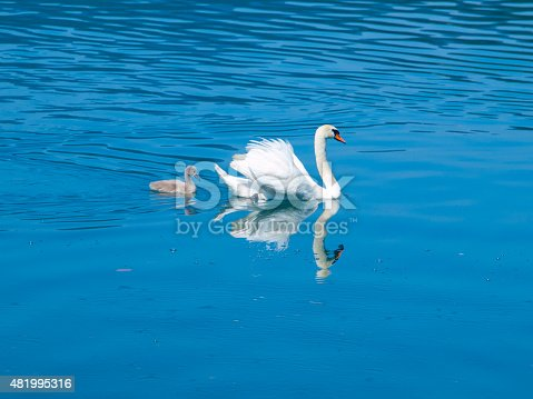 White swan with young grey cygnet on a blue lake