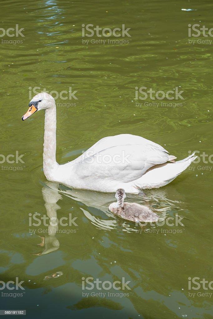 White swan with cygnet stock photo