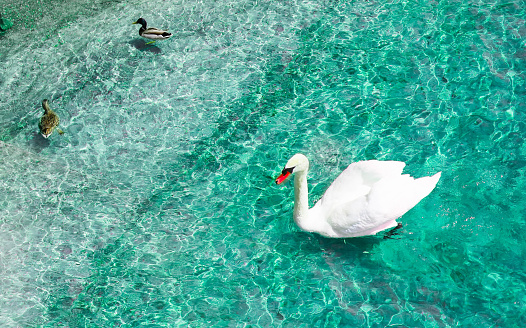 White  swan with ducks floats in water.
