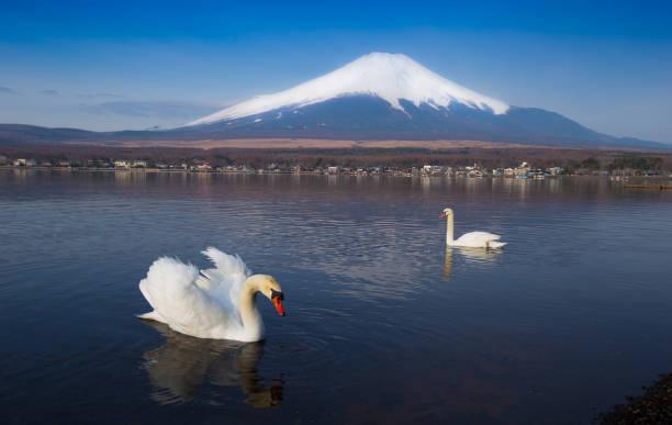 ホワイトスワン、富士山山中湖、では、日本の山梨県 - yamanaka lake ストックフォトと画像