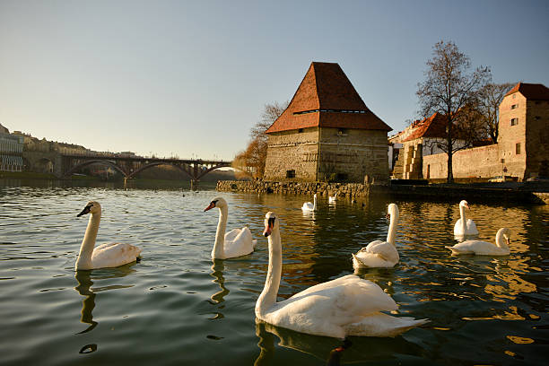 White swans in front of medieval building, Maribor, Slovenia stock photo