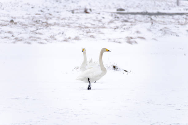 White Swans in the Wilderness stock photo