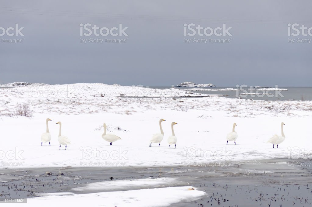 White Swans in the Wilderness royalty-free stock photo
