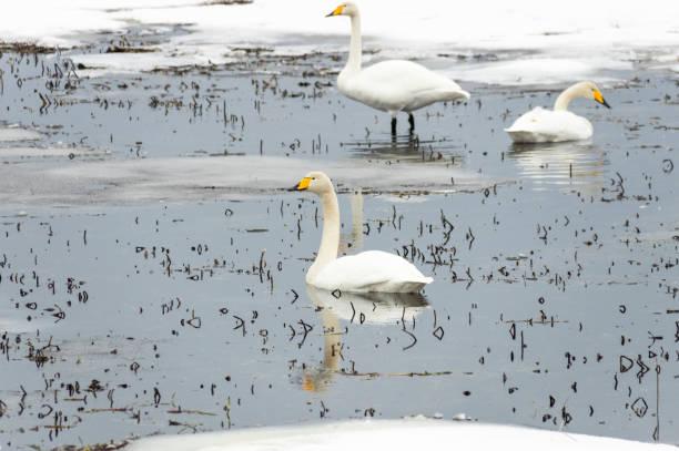 Wilderness beyaz Swans stok fotoğrafı